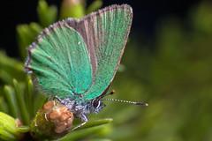 Very Green - _TNY_4563 (Calle Söderberg) Tags: macro canon5dmkii canon canonef100mmf28usmmacro canoneos5dmarkii 5d2 raynox dcr250 flash meike mk300 glassdiffusor insect butterfly fjäril snabbvinge juvelvinge grönsnabbvinge björnbärssnabbvinge callophrys rubi green metallic scales profile shiny glitter hairstreak greenhairstreak lycaenidae lycaeninae emerald hair fuzz fuzzy hairy spruce f22