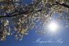 Magnolia Sky (FocusPocus Photography) Tags: magnolie magnolienbaum magnolia magnoliatree baum tree inblüte blooming infullbloom frühling spring sonne sun sunshine blauerhimmel bluesky
