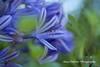 Blue Agapanthus Flowers (Anna Calvert Photography) Tags: floral flowers garden macro macrophotography mygarden nature naturephotography petals plants blueagapanthus agapanthus