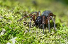 Plattbauchspinne - Glattbauchspinne (Drassodes lapidosus) (Andrelo2014) Tags: macro spinne plattbauchspinne glattbauchspinne drassodes lapidosus sonyilca77m2 a77ii sigma105mmf28exmakro sigma105mm sonyalpha77ii spider nature
