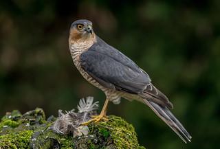 DSC6742  Sparrowhawk...