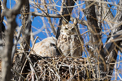 Great Horned Owl owlets snuggle up to mom