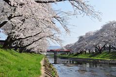 DSC_0236 (tcchang0825) Tags: 新境川堤 岐阜 各務原 gifu japan sakura cherryblossom 櫻花 桜