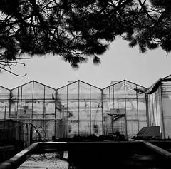 Regard sur les laboratoires de jardiniers... (woltarise) Tags: montréal botanique jardin serres entretien plantes protection arrière entreposage film argentique ilford xp2 400 rolleiflexautomatmx 120