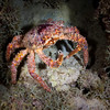 You lookin' at me? (Beth Bennett & Gérard Cachon) Tags: bonaire crab elegancia underwater caribbean scuba diving night reef nauticam