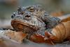 Ein verkuppeltes Erdkrötenpaar (Bufo bufo) auf dem Weg zu ihrem Laichgewässer (AchimOWL) Tags: frosch kröte postfocus gx80 panasonic lumix stack stacking nahaufnahme natur nature tier animals wildlife schärfentiefe ngc outdoor amphibien fauna erdkröte echtekröten bufo toad hyloidea froschlurch anura lurche amphibia teich wasser laich wald laub