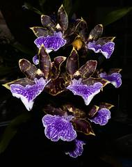 Zygopetalum maculatum 1-2-1 species orchid (nolehace) Tags: spring nolehace sanfrancisco fz1000 flower bloom plant zygopetalum maculatum 121 species orchid 418