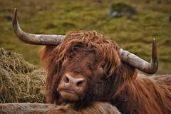 Highland Bull (Rudi Verspoor) Tags: cow highland scotland orange ginger horns portrait animal farm fluffy hairy nikon dslr 55300 telephoto bull male big d7200 crianlarich cycling touring