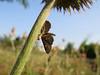 Predator and prey. (Vitaly Giragosov) Tags: spider moth insect sevastopol crimea паук мотылёк насекомые севастополь крым