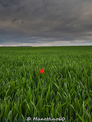 Alone (MANETTINO60) Tags: flower tulip rain storm thunderstorm alone red rouge fleur exterieur nikon picardie oise fields champs blé nuages campagne countryside landscape paysage pluie seul samsung