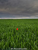 Alone (MANETTINO60) Tags: flower tulip rain storm thunderstorm alone red rouge fleur exterieur nikon picardie oise fields champs blé nuages campagne countryside landscape paysage pluie seul samsung