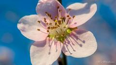 Spring in pink (Milen Mladenov) Tags: 2018 nikon resco blooming blossom closeup flowers garden macro nature naturephotography peach peachblossom pink pinkflower spring