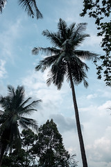 20180407 palm trees (chromewaves) Tags: fujifilm xt20 khanom thailand xf 1855mm f284 r lm ois samet chun