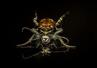 Purple tiger beetle - New Jersey Pine Barrens