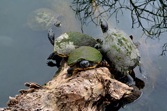 Turtle King of The Hill (Darren-) Tags: art beach beauty beautiful color d5200 gorgeous green garden sky landscape light myrtlebeach nikon nature outdoors perfect pretty southcarolina usa