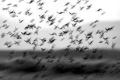 A Dance of Wind and Wings (miTsu-llaneous) Tags: birds flock dickcissels monochrome black white bnw blackandwhite nature wildlife naturephotography wildlifephotography animals abstract nikon d500 tamron flight long exposure longexposure field
