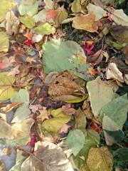 11-11-17 Dayton 16 leaves, fall color (Chicagoan in Ohio) Tags: dayton clouds sun sunhalo leaves fallcolor