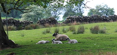 Sheltering from the heat. (jdathebowler Thanks for 1.7 Million + views.) Tags: shelteringfromtheheat sheep ewe northyorkshire nearotley fewstonreservoir