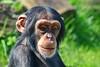 ♂ Dayo (Noodles Photo) Tags: schimpanse chimpanzee anthropoidea affen catarrhini altweltaffen hominoidea menschenartige hominidae menschenaffe homininae pan jungtier primat primates mammal säugetier zoo zoomerlebniswelt zoomerlebnisweltgelsenkirchen ruhrzoogelsenkirchen gelsenkirchen nrw northrhinewestphalia nordrheinwestfalen deutschland germany canoneos7dmarkii ef100400mmf4556lisusm