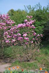 Ботанічний сад імені Гришка Цвітуть магнолії InterNetri  Ukraine 174