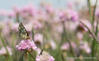 Glanville Fritillary on Sea Thrift