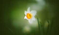 Spring Glow (Dhina A) Tags: sony a7rii ilce7rm2 a7r2 bellhowell 2inch 51mm f12 bellhowell2inch51mmf12 bell howell 2 inch projector projection lens bokeh vintage old spring glow flower daffodils