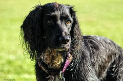 Darcy #2 (John Campbell 2016) Tags: darcy springer springerspaniel dog doglovers lovedogs dogphotography pet petphotography canon canon1300d canoncamera canonphotography closeup close