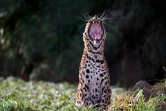 vocalizations (rondoudou87) Tags: panthère panther panthera pentax k1 parcdureynou zoo reynou park parc nature natur smcpda300mmf40edifsdm sauvage wildlife wild bokeh green grass herbe vert verdure teeth tooth moustache