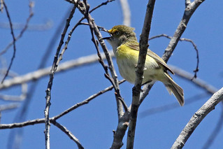 White-eyed Vireo Singing In the Open!