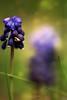 ridondanze (swaily ◘ Claudio Parente) Tags: macro fiore fiori blu erba prato d500 nikon swaily claudioparente
