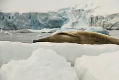 Antarctica, 2016 (stribs) Tags: antarctica seals