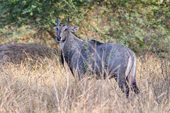 Blue Bull (PB2_2591) (Param-Roving-Photog) Tags: blue bull neelgai wildlife forest protected mattewara ludhiana punjab grass wildlifephotographer naturephotography nikond7200 tamron70200 antelope