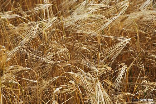 Пшениця, жито, овес InterNetri  Ukraine 024