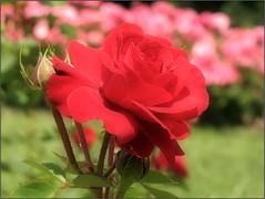 (Tölgyesi Kata) Tags: rose rózsa rózsakert tuzsonjánosbotanikuskert withcanonpowershota620 rosegarden nyíregyháza rosen rosa flower rosier blossom fleur virág botanikuskert botanicalgarden redflower spring tavasz may