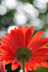 Keep dreaming (James_D_Images) Tags: flower organge gerbera petals stem pov low angle backlit bokeh garden spring