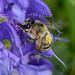 Bee Wildbiene 180527 078.jpg
