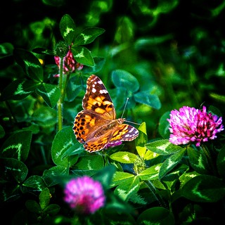 Saranac Lake  New York -  Flower Garden - Butterfly
