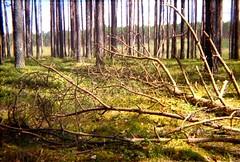 April 2017. How to make LO-FI with 135 film (yerzmyey) Tags: lofi yerzmyey action sampler 135 film camera nature tuchola pinewoods forest 14 frame
