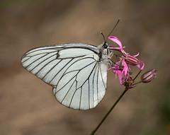 Black veined White butterfly (Aporia crataegi) (keith27a) Tags: butterfly blackveinedwhite d750 nikon sigma150mmf28macro
