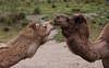 DSC_0113 (shinchey) Tags: oaklandzoo 2018zoo camels