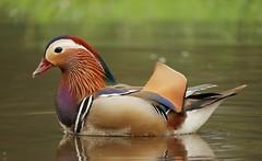 Mandarin duck (PhotoLoonie) Tags: duck mandarinduck mandarinduckmale feathers waterbird nature wildlife colours colourful bird perchingduck spring waterfowl aixgalericulata