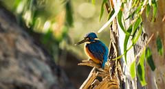 Azure Kingfisher (Ceyx Azureus) (AWLancaster) Tags: azurekingfisherceyxazureus kingfisher birding sony mitchelton photowalk feathers azure native amazingbird beautifulnature