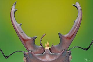 Dangerous Jaw - Cyclommatus sp