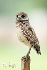 Burrowing Owls 2018 (Natureklicks by Liza Morffiz) Tags: burrowingowls owlets canon wildlifephotography nature birds florida