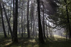 Forest Skylight (Pierre PRESTAT) Tags: backlight dordogne fence foliage forest mist morning pinetrees rayoflight roussarie sidelight skylight subdued trees