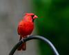 Northern Cardinal (FJMaiers) Tags: cardinal northerncardinal songbird redbird bird red birding iowa glenwood