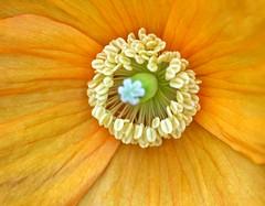 Inside a California poppy!😊 (LeanneHall3 :-)) Tags: californiapoppy orange petals macro macrophotography closeup closeupphotography garden canon 1300d