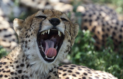 High Time For The Weekend (AnyMotion) Tags: cheetah gepard acinonyxjubatus cat katze yawning gähnend 2018 anymotion ndutu ngorongoroconservationarea tanzania tansania africa afrika travel reisen animal animals tiere nature natur wildlife 7d2 canoneos7dmarkii ngc npc