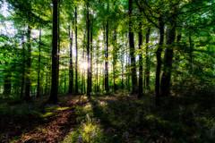 Pollok Park-1-4 (ianmiddleton1) Tags: pollokpark trees sunlight panorama treetrunk bluebells shadows