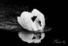 White swan in black and white (ptittomtom80) Tags: animals animaux artistic birds bnw cygnetuberculé nb oiseaux monochrome noiretblanc blackandwhite alsace france